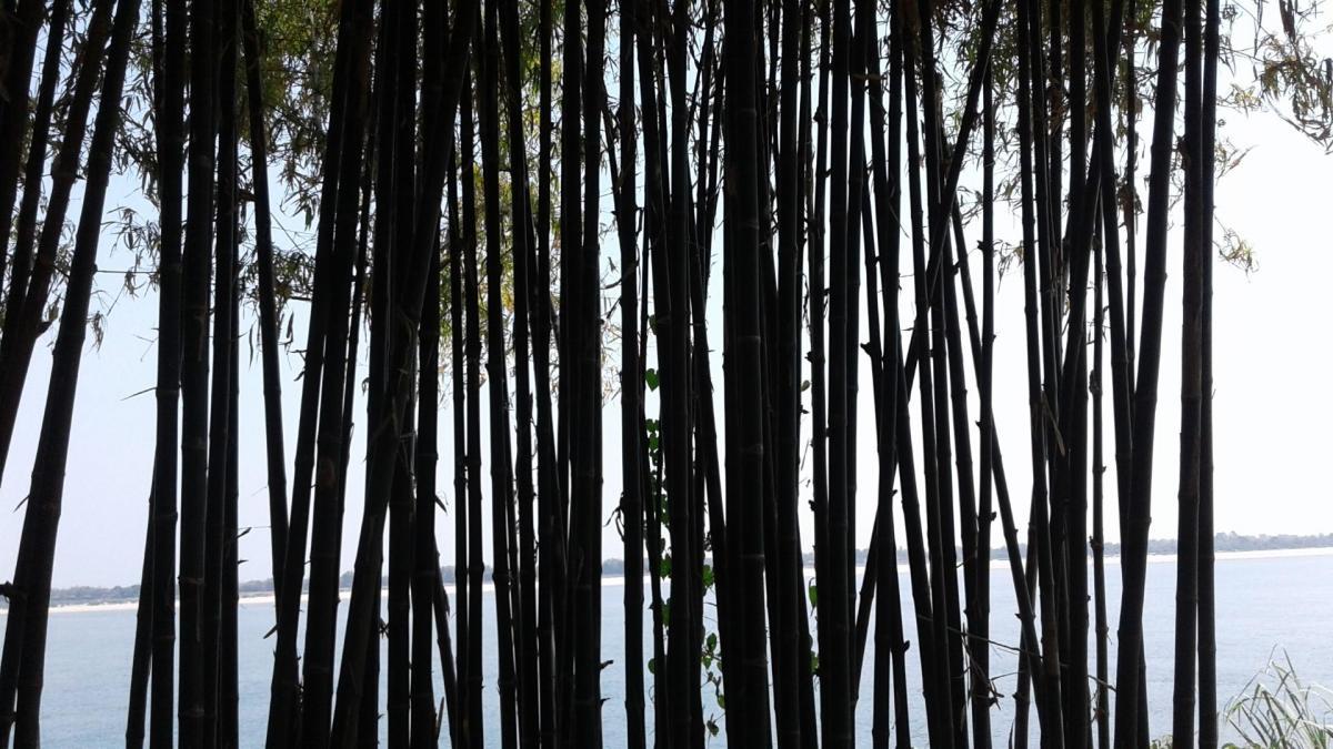 Bambous a champasac grand