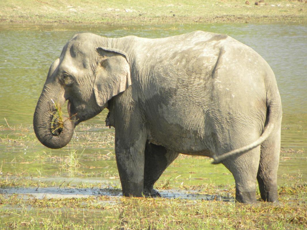 éléphant gris
