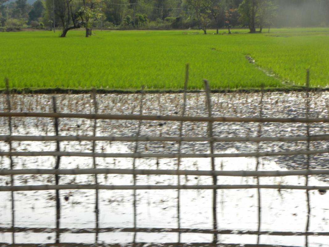 Flou sur riziere verte grand