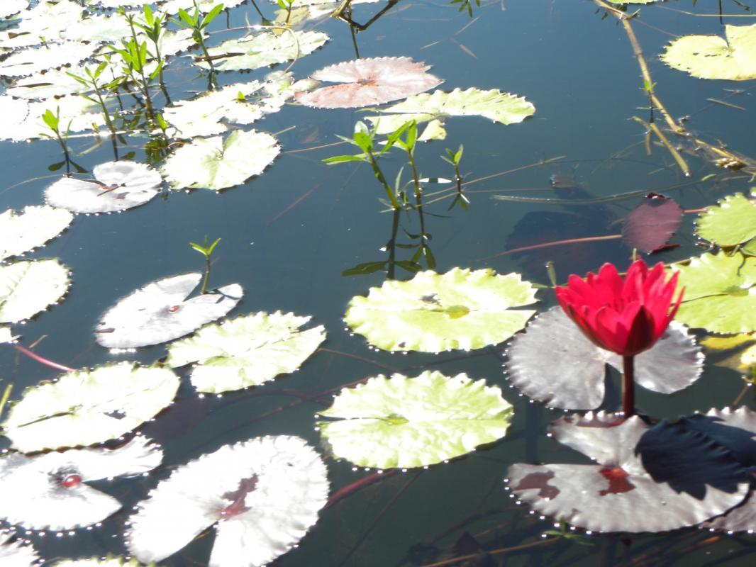 Lotus bleu 4 grand