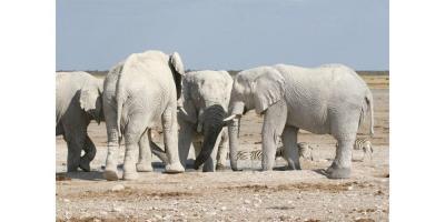 elephants blancs